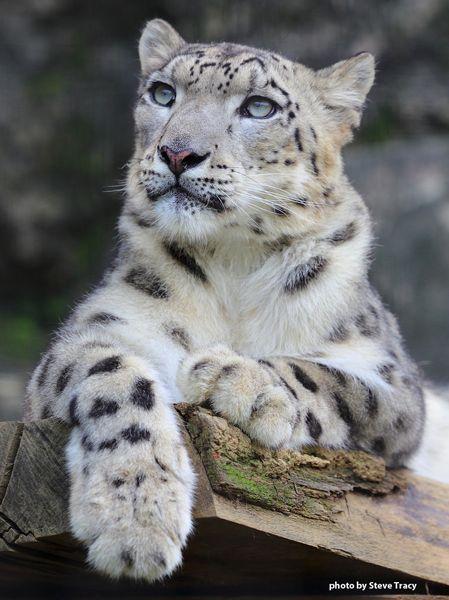225 best leopardo de las nieves images on pinterest big - Chat type leopard ...