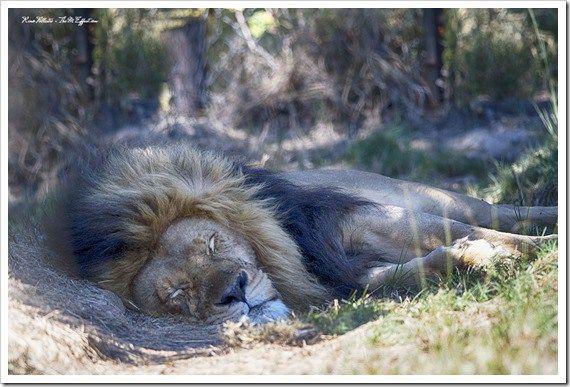 The Imire Lion, Zimbabwe