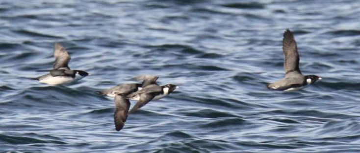 Seabirds Face Massive Decline Since the 1950s | THE WILDLIFE SOCIETY