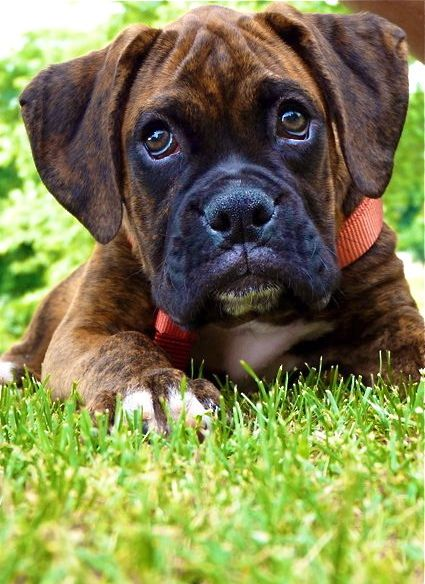 Brindle boxer. This will be the first dog I own. They have so much personality and are such lovers! :)