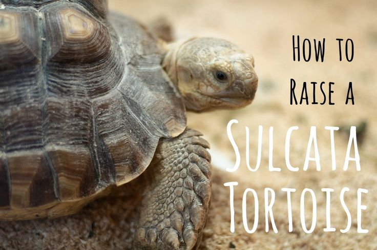 How to Set up a Habitat for Your Baby Sulcata Tortoise | PetHelpful
