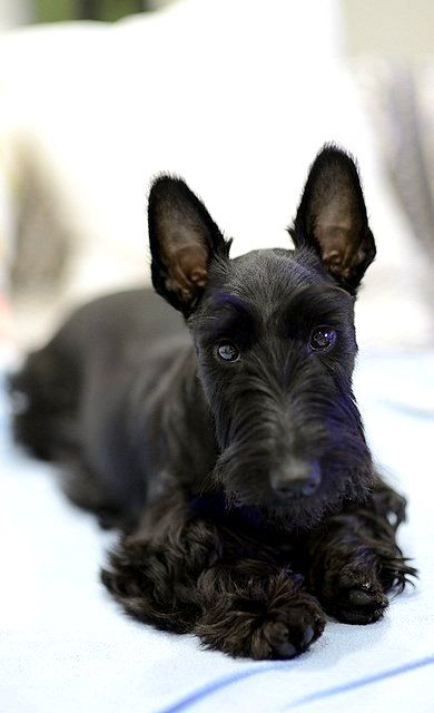 Great scott, you're adorable!  #dogs #pets #ScottishTerriers facebook.com/sodoggonefunny