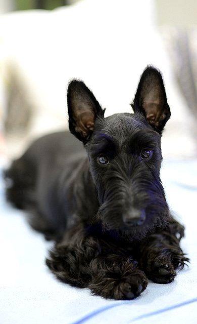 Great scott, you're adorable!  #dogs #pets #ScottishTerriers facebook.com/sodoggonefunny