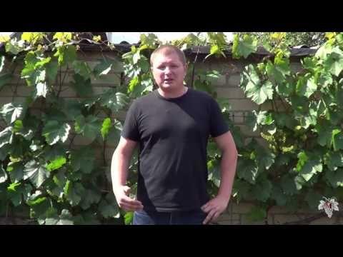 Цветение винограда. Как избежать горошения. Виноград 2016. - YouTube