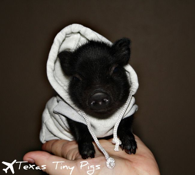 Pig in a hoodie. I'm in love!