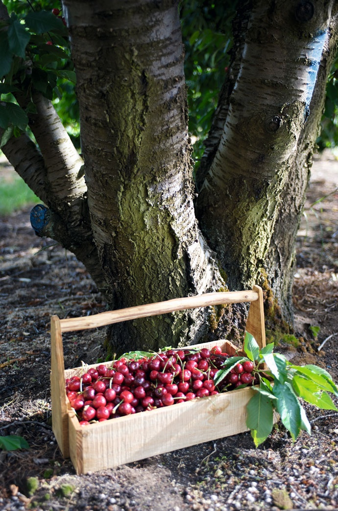 Many different varieties of cherries are grown near Ceres on the Klondyke Cherry Farm.