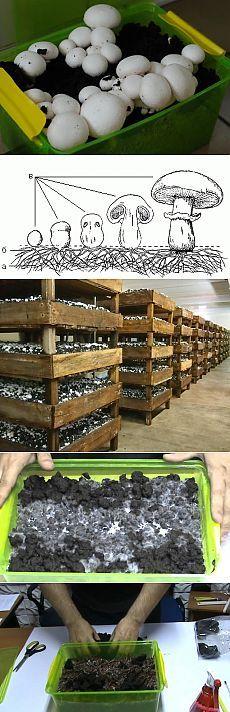 Как самостоятельно выращивать грибы шампиньоны на приусадебном участке в открытом грунте, в теплицах или погребах и подвалах. Описание технологий культивирования шампиньонов с чертежами, схемами и фото. shampinion