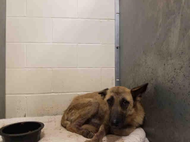 Im in Conroe, TX, Animal Shelter and this is the time for me to live not die. ID#: A285483, female German Shepherd mix.
