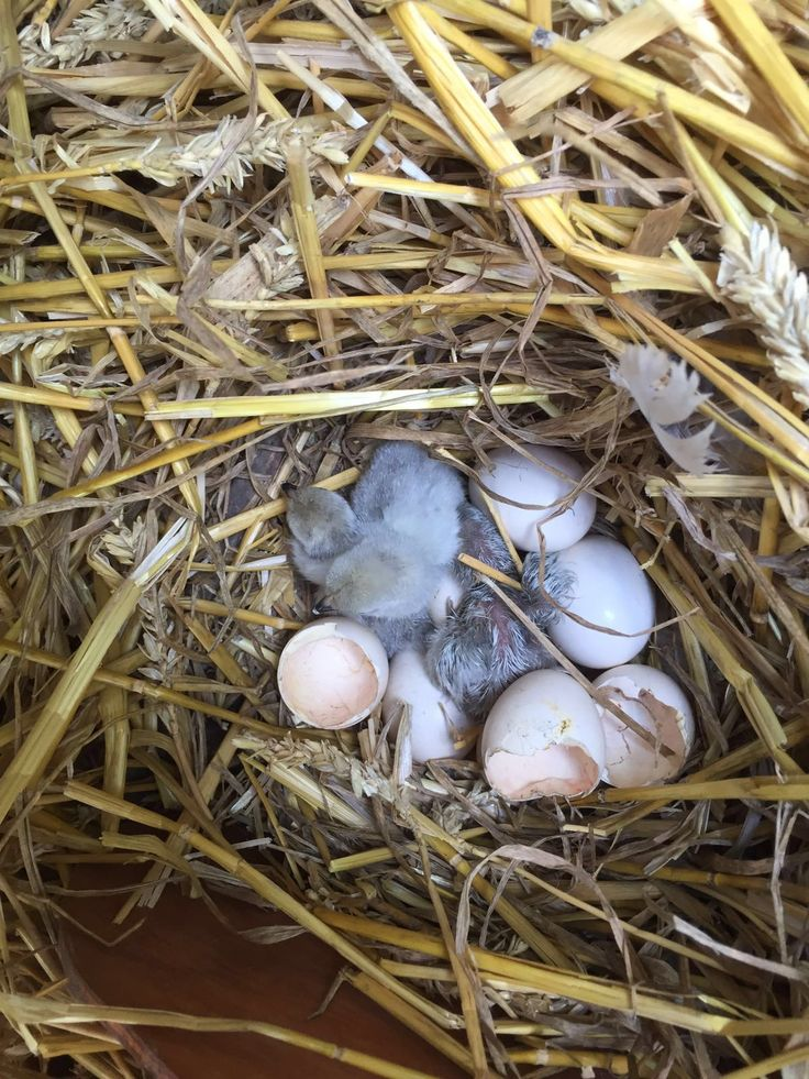 Grey chicks