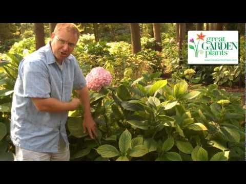 When to Prune Hydrangeas from the Gardening Experts   GOOD