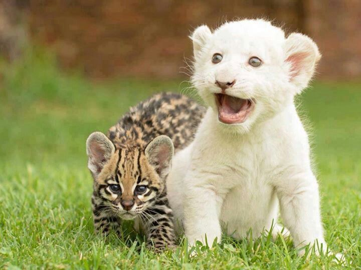 Ocelot and an albino tiger | Animals (the cute, the cuddly ...
