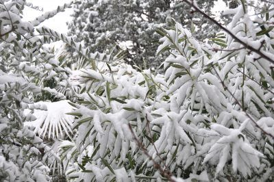 Oleander Winter Care: How To Overwinter An Oleander Shrub - Oleanders can be severely damaged or even killed by winter cold. You can forestall damage to your plants if you learn how to overwinter an oleander. Click this articler for tips on oleander winter care.