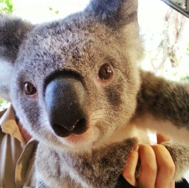 Aussie adorable! Holding koalas at Currumbin Sanctuary #thisisqueensland