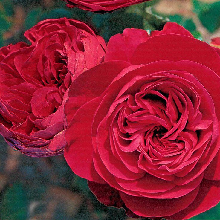 'Red Leonardo da Vinci' * - Meilland (2005) - ADR 2005. Compacte trosroos met look van oude/Engelse rozen. Middelgrote (7cm), donkerrode bloemen. Rijkbloeiend en regenvast. Meeldauw en sterroetdauw resistent. H 60cm.
