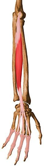 Extensor Digitorum: Origin - lateral epicondyle of humerus. Insertion - extensor expansions of medial four digits. Action - extends medial four digits at metacarpophalangeal joints, extends hand at wrist joints.