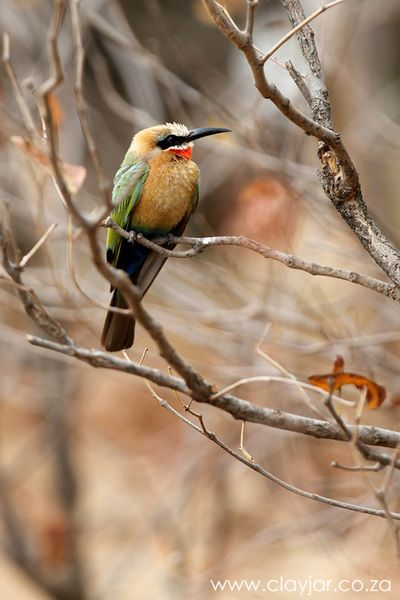 White Fronted Bee-eater - Cape Town Photographers   Clay Jar Photography