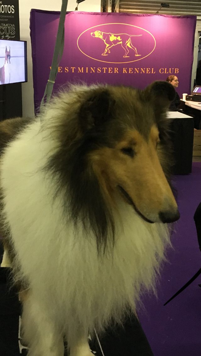 Gch Scalloway S Lion Hunter Samson Getting Ready For The