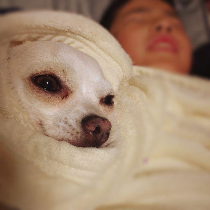 ...I'm sleepy. #dog #chihuahua
