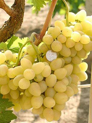 Виноград Аркадия: описание сорта, выращивание и уход