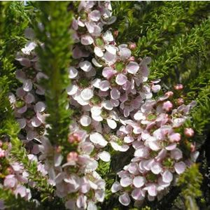 Leptospermum liversidge 'Mozzie Blocker' Fine dense foliage with soft pink flowers in spring. Foliage has a high oil content that forms a barrier for mosquitos, in summer the scent of citronella can fill the air surrounding the plant. Ideal as a low hedge or border. Frost hardy.