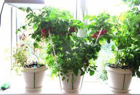 Выращивание томатов на подоконнике.  Томаты на подоконнике? Вам может показаться, что это слишком сложный процесс, однако, если у вас есть место на солнечном подоконнике, это достаточно просто, интересно и увлекательно. Фото: © Nikolai Popov