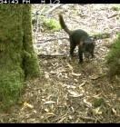 Wildlife Rescue Magazine suggests Reconyx HC500 Young Tasmanian Devil. Image from Tarkine, Tas. Courtesy of Bonorong Wildlife Sanctuary.