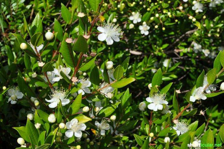 Die Myrte ist eine sagenumwobene Heil- und Lebensmittel-Pflanze. Als Tinktur, Salbe oder Zutat für Marmelade und Likör ist sie vielfältig verwendbar.