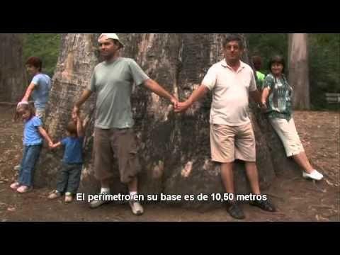 El eucalipto 'Abuelo de Chavín' de Viveiro recibe el premio al Árbol Gigante del año 2010