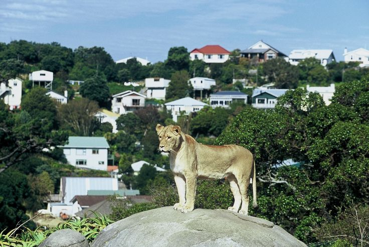 Tiger, Wellington Zoo - copyright www.belindabrownphotography.co.nz