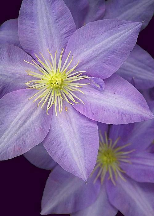 Delicate Violet by Frank Luxford