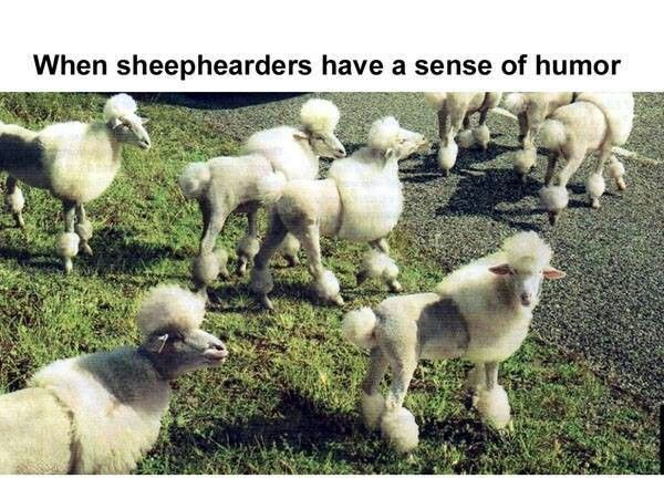 Sheepdogs or dogsheep