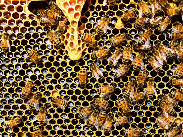 Why Everyone Should be Reaping the Amazing Health Benefits of Bee Propolis