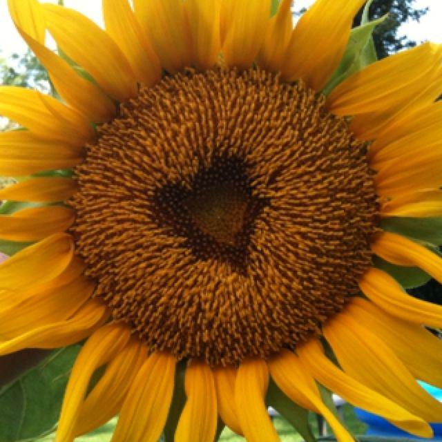 Sunflower- heart shaped center!! <3 #sunflower #heart #flowers…