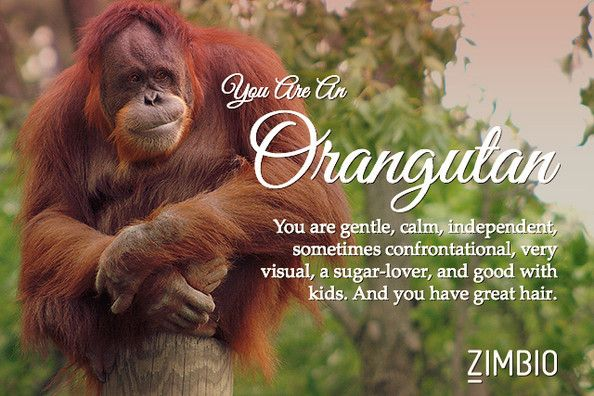 I took Zimbio's quirky spirit animal quiz and I'm a Orangutan! Wow, the second quiz in a row to tell me I have great hair! Thanks Zimbio! ;)