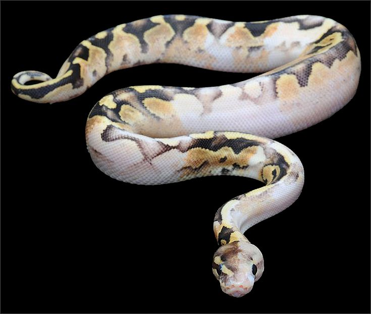 Ball python.