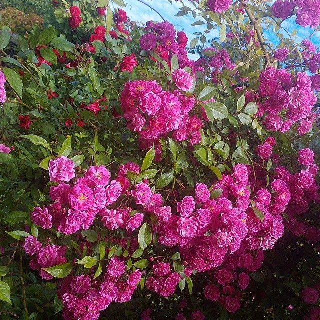 #лето#дача#розы#плетистыерозы#