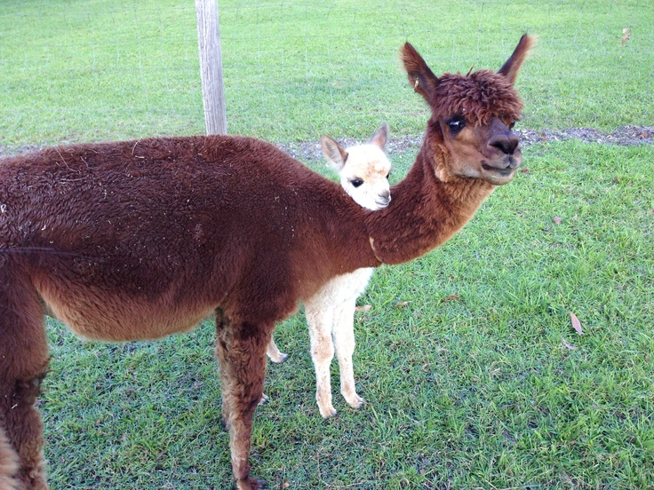 Lucy with Wally (cria), our pet alpacas