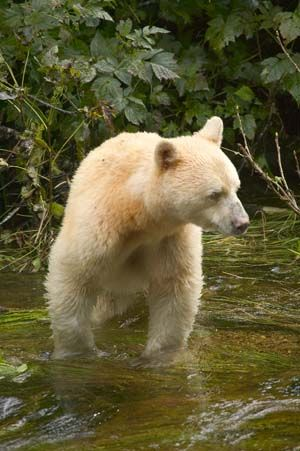 the Spirit Bear (Kermode) is the animal symbol for BC, the only place the black bear is found is The Great Bear Rainforest on the NW Coast of BC. They are not albino, the color is from a recessive gene.
