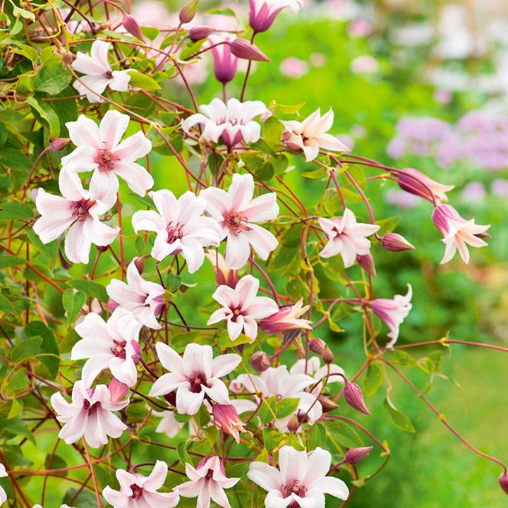 Clematis texensis Plant - Princess Kate at Suttons Seeds