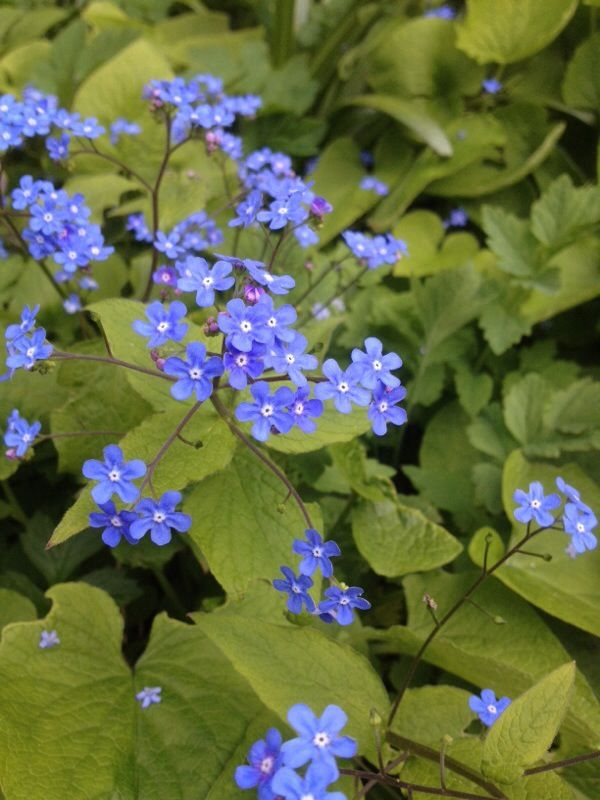 Heartleaf brunnera macrophylla looks like a brunnera this this perennial flowers in spring with small blue flowers it grows best in part shade with regular moisture usually people grow selections with variegated mightylinksfo