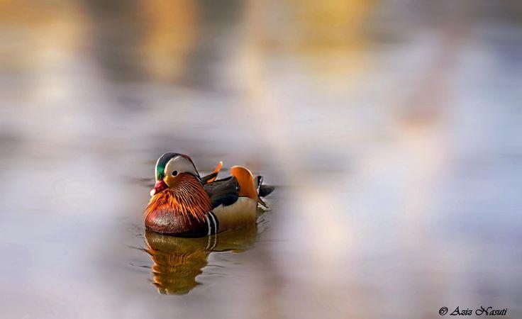 Mandarin in Nidelva, Trondheim by Aziz Nasuti on 500px