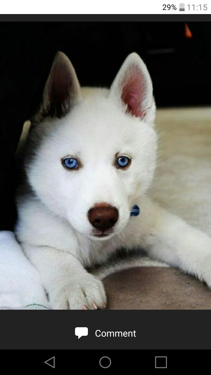 Pin By Aarmau 12123 On Dogs Husky Siberian Husky Dog Dogs