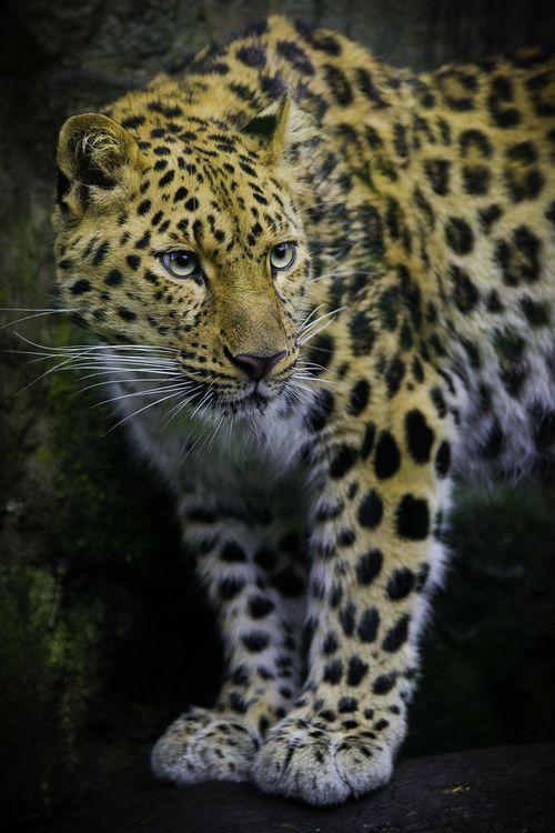 Amur Leopard. Photo by Phillip Burgess Photography.
