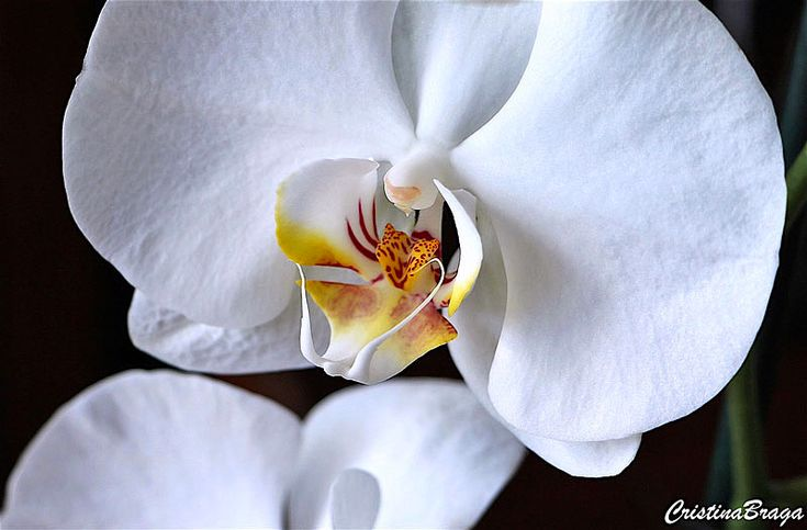 Orquídea Phalaenopsis - Herbácea com inflorescências longas, com várias flores de pétalas ...