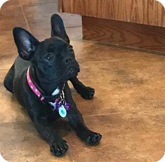 Katy, TX - French Bulldog. Meet Leia, a dog for adoption. http://www.adoptapet.com/pet/18247199-katy-texas-french-bulldog