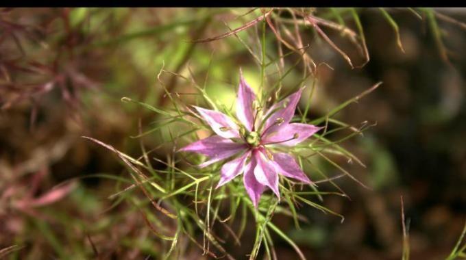 """La Nigelle c'est l'autre nom du """"Cumin noir"""". Ses graines sont utilisées comme épices dans la cuisine, mais également comme remèdes traditionnels.  Découvrez l'astuce ici : http://www.comment-economiser.fr/nigelle-plante-vertus.html"""