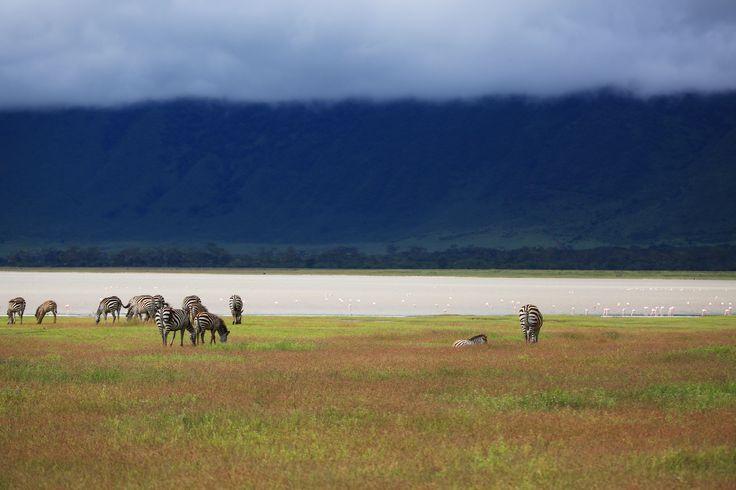 Zebra herd, Ngorongoro Crater, Tanzania