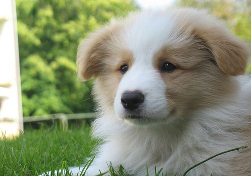 Golden tan and white border collies are my favorite--since I have one!  Seriously, smartest dog breed meets gorgeous color!  This photo looks like my Sassy as a puppy!
