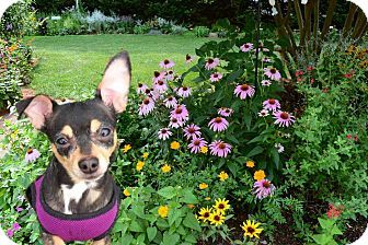 Silver Spring, MD - Chihuahua/Miniature Pinscher Mix. Meet Millie, a dog for adoption. http://www.adoptapet.com/pet/17956126-silver-spring-maryland-chihuahua-mix