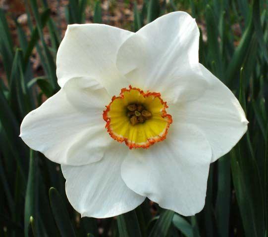 Narcissus flower- December birth flower